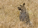 Leopard Sitting in Long Grass, Tanzania Photographic Print by Edwin Giesbers