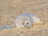 Grey Seal Pup on Beach Lying Beside Plastic Twine, Blakeney Point, Norfolk, UK, December Reprodukcja zdjęcia autor Gary Smith