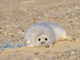 Grey Seal Pup on Beach Lying Beside Plastic Twine, Blakeney Point, Norfolk, UK, December Photographic Print by Gary Smith