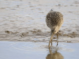 Curlew Washing Worm in Water, Norfolk UK Photographic Print by Gary Smith