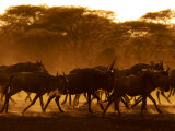 Wildebeest Running, Tanzania Photographic Print by Edwin Giesbers