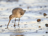 Black Tailed Godwit Feeding in Mud on Tidal Channel, Norfolk, UK, December Photographic Print by Gary Smith