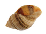 Dog Whelk Atlantic Dogwinkle Shell, Normandy, France Photographic Print by Philippe Clement