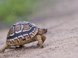 Leopard Tortoise Walking across Sand, Tanzania Photographic Print by Edwin Giesbers