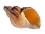 Common Whelk Shell Showing Aperture, Normandy, France Photographic Print by Philippe Clement
