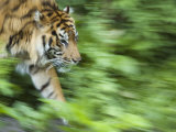 Sumatran Tiger Walking Photographic Print by Edwin Giesbers