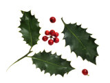Holly Leaves and Berries, Belgium Photographic Print by Philippe Clement