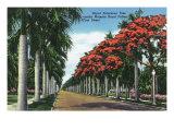 Fort Myers, Florida - First Street, Royal Poinciana Trees Flowering Amidst Royal Palms, c.1948 Poster by  Lantern Press
