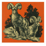 Nature Magazine - View of Long Horned Sheep, c.1948 Posters by  Lantern Press