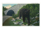Great Smoky Mts. Nat'l Park, Tn - View of a Black Bear Near a Newfound Gap Hwy Tunnel, c.1940 Posters