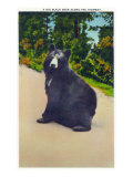 Great Smoky Mts. Nat'l Park, Tn - View of a Big Black Bear Sitting on the Highway, c.1946 Art