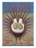 Nature Magazine - View of a Greater Sage-Grouse Bird All Puffed Up, c.1932 Prints by  Lantern Press