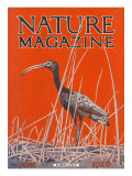 Nature Magazine - View of a Ibis in a Marsh, c.1926 Affiches