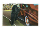 Great Smoky Mts. Nat'l Park, Tn - View of a Car Being Stopped by Native Black Bears, c.1940 Prints