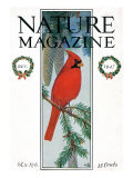 Nature Magazine - View of a Cardinal Perched on a Pine Branch, c.1927 Posters by  Lantern Press