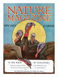 Nature Magazine - View of a Group of Turkeys, c.1927 Prints by  Lantern Press