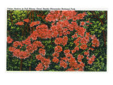 Great Smoky Mts. Nat'l Park, Tn - View of Flame Azalea in Full Bloom, c.1946 Prints