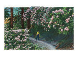 Great Smoky Mts. Nat'l Park, Tn - View of Rhododendron Blooming Along a Trail, c.1946 Posters