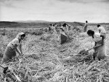 The Great Natal Sugar Cane Industry Is Made Up of a Work Force of Indians Lámina fotográfica de primera calidad por Bob Landry