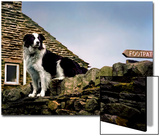 Border Collie on Moss Covered Stone Wall Posters by Jody Miller