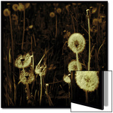 Dandelions in Various Stages Print by Ewa Zauscinska