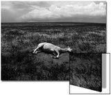 Horse Lying on Side in Field Art by Krzysztof Rost