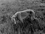 Greyhound in Field Prints by Traer Scott
