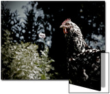 Black Spotted Rooster in Field Posters by Tim Kahane