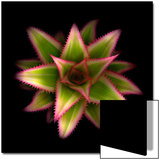 Cactus Star Prints by Robert Cattan