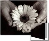 Daisy Cupped in Tired Hands Plakater av Stefanie Schneider
