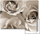 Three White Roses Prints by Robert Cattan