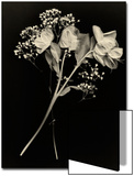 Wilted White Rose and Baby's Breath in Black and White Posters by Robert Cattan