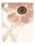Anemone Radiance Giclee Print by Donna Geissler