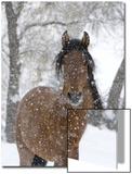 Porträt eines andalusischen Hengstes bei Schneefall, Longmont, Colorado, USA Poster von Carol Walker