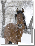 Bay Andalusian Stallion Portrait with Falling Snow, Longmont, Colorado, USA 高画質プリント : キャロル・ウォーカー