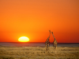 Giraffes Stretch their Necks at Sunset, Ethosha National Park, Namibia Prints by Janis Miglavs