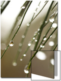 Rain Drops on Pine Branch Needles Prints by Ellen Kamp