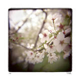 Cherry Blossoms Giclee Print by Rebecca Tolk