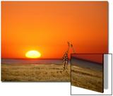 Giraffes Stretch their Necks at Sunset, Ethosha National Park, Namibia Plakat av Janis Miglavs