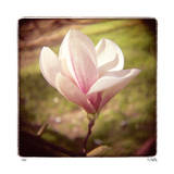 Spring Magnolia Limited Edition by Rebecca Tolk