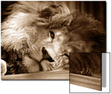 Lion Sleeping at Whipsnade Zoo Asleep One Eye Open, March 1959 Posters