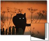 Jane Burton - Black Domestic Cat Silhouetted Against Sunset Sky, Eyes Reflecting the Light, UK Obrazy