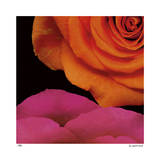 April Roses Giclee Print by Pip Bloomfield