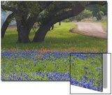 Darrell Gulin - Oak Trees, Blue Bonnets, and Indian Paint Brush, Near Gay Hill, Texas, USA Plakát