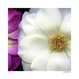 Roses de jardin Reproduction procédé giclée par Pip Bloomfield