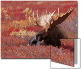 Bull Moose in Denali National Park, Alaska, USA Print by Dee Ann Pederson