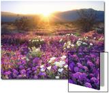 Hiekkaverbena ja dyyniesikko auringonlaskussa, Anza-Borregon aavikkopuisto, Kalifornia Juliste tekijänä Christopher Talbot Frank