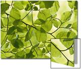 Beech Leaves in Spring, Fagus Sylvatica Plakater av Iain Sarjeant