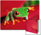 Red-Eyed Tree Frog Prints by David Davis