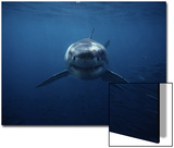 Great White Shark, Swimming, South Australia Póster por Gerard Soury